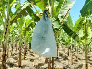 Bagging Of Banana Buch In Banana Farming