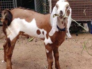 Beetal-Goat