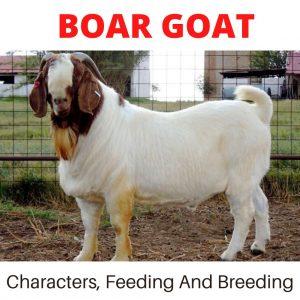 Boar goat, Boar goat farming, Boar goat characters, Boar goat origin, Boar goat feeding