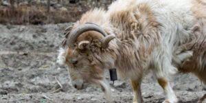 Chyangra-Goat