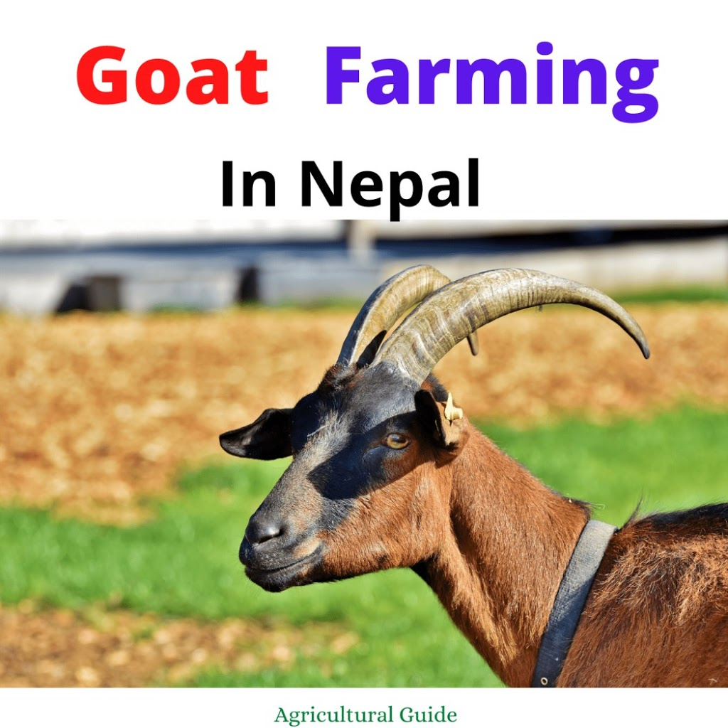 Goat Farming In Nepal:- Importance, Prospects And Challenges