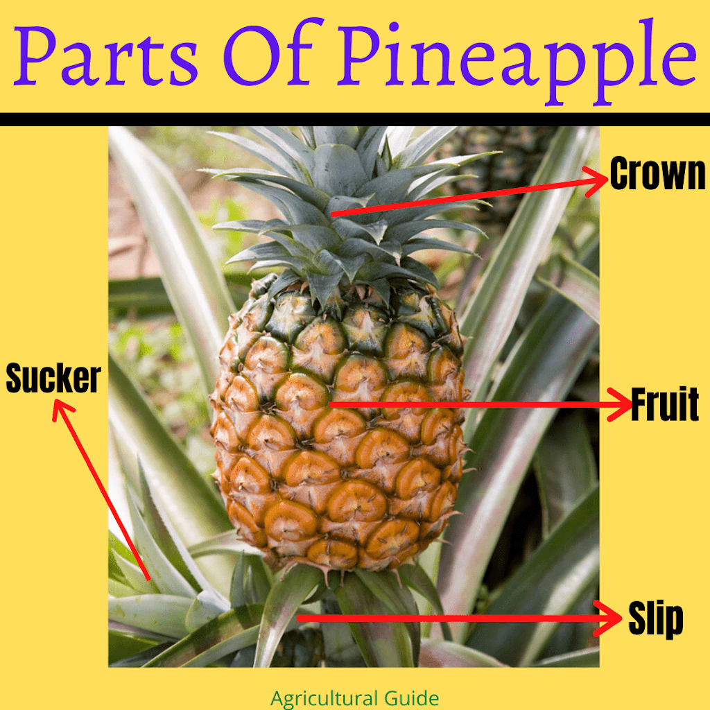 Pineapple Farming, Cultivation Techniques - A Complete Guide