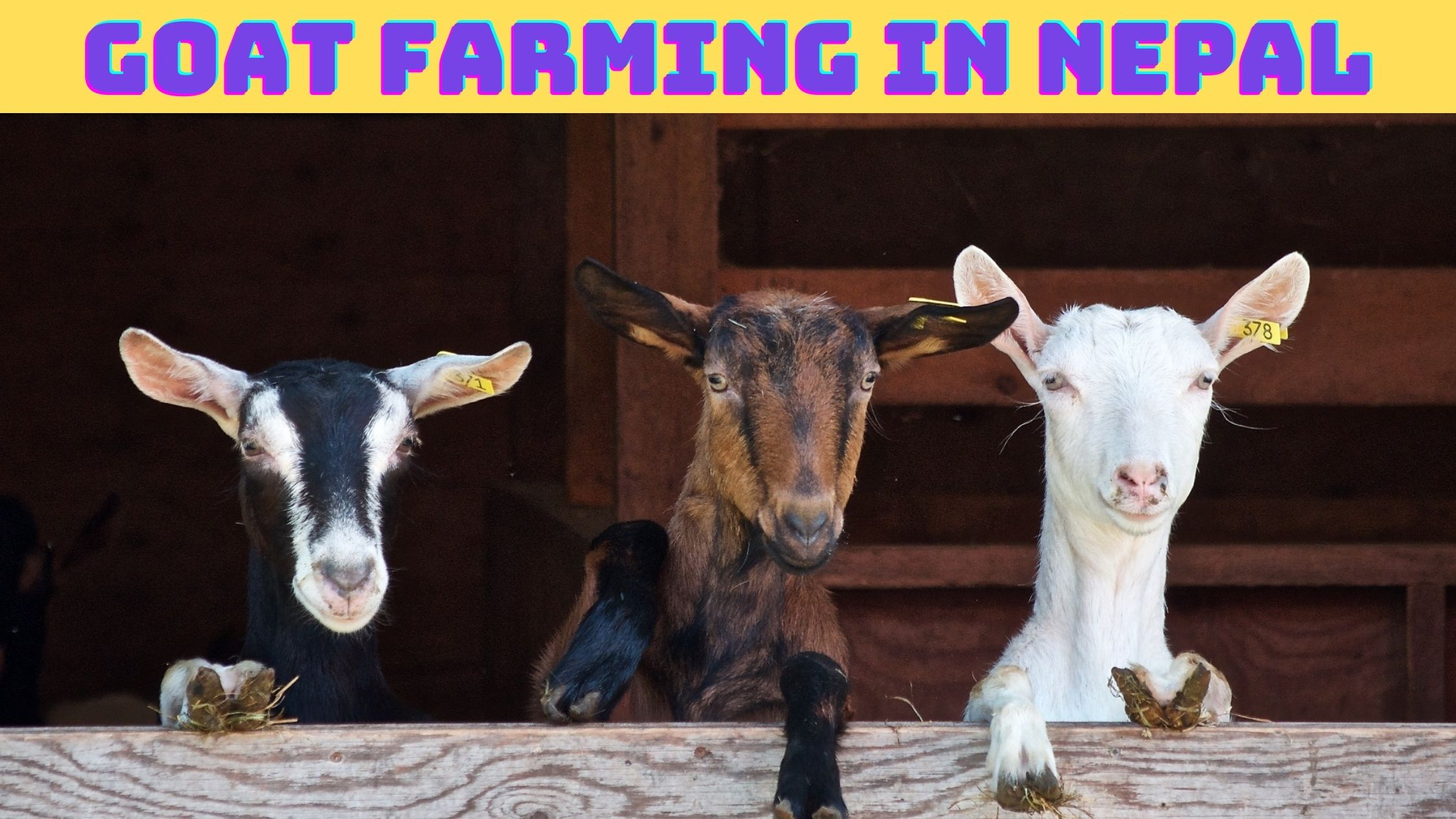 Goat farming in Nepal