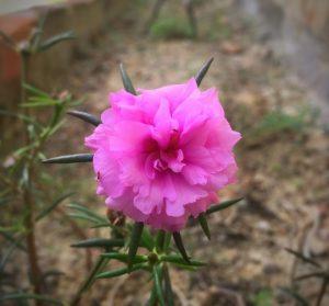 9 o clock flower, 9 o'Clock flower, 9 o'Clock flower plant Care, 9 o clock plant