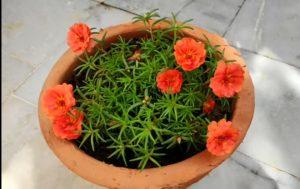 9 o'Clock flower plant, 9 o'Clock flower plant Care