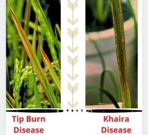 khaira disease of rice,khaira Disease,rice disease,bacterial leaf blight of rice,brown spot of rice,disease of rice,tungro disease of rice,important disease of rice
