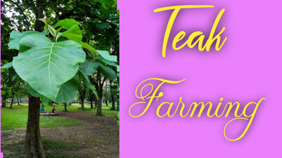 All About Teak Wood  Farming