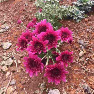 Red Shevanti Flower
