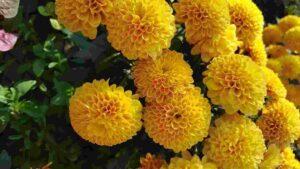 Shevanti Flower