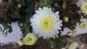 White Shevanti Flower