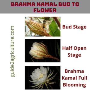 Brahma Kamal Bud To Flower In How Many Days