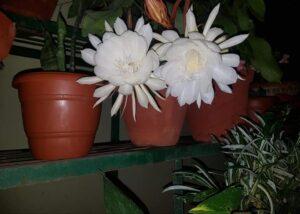 Brahma Kamal, Brahma Kamal flower plant