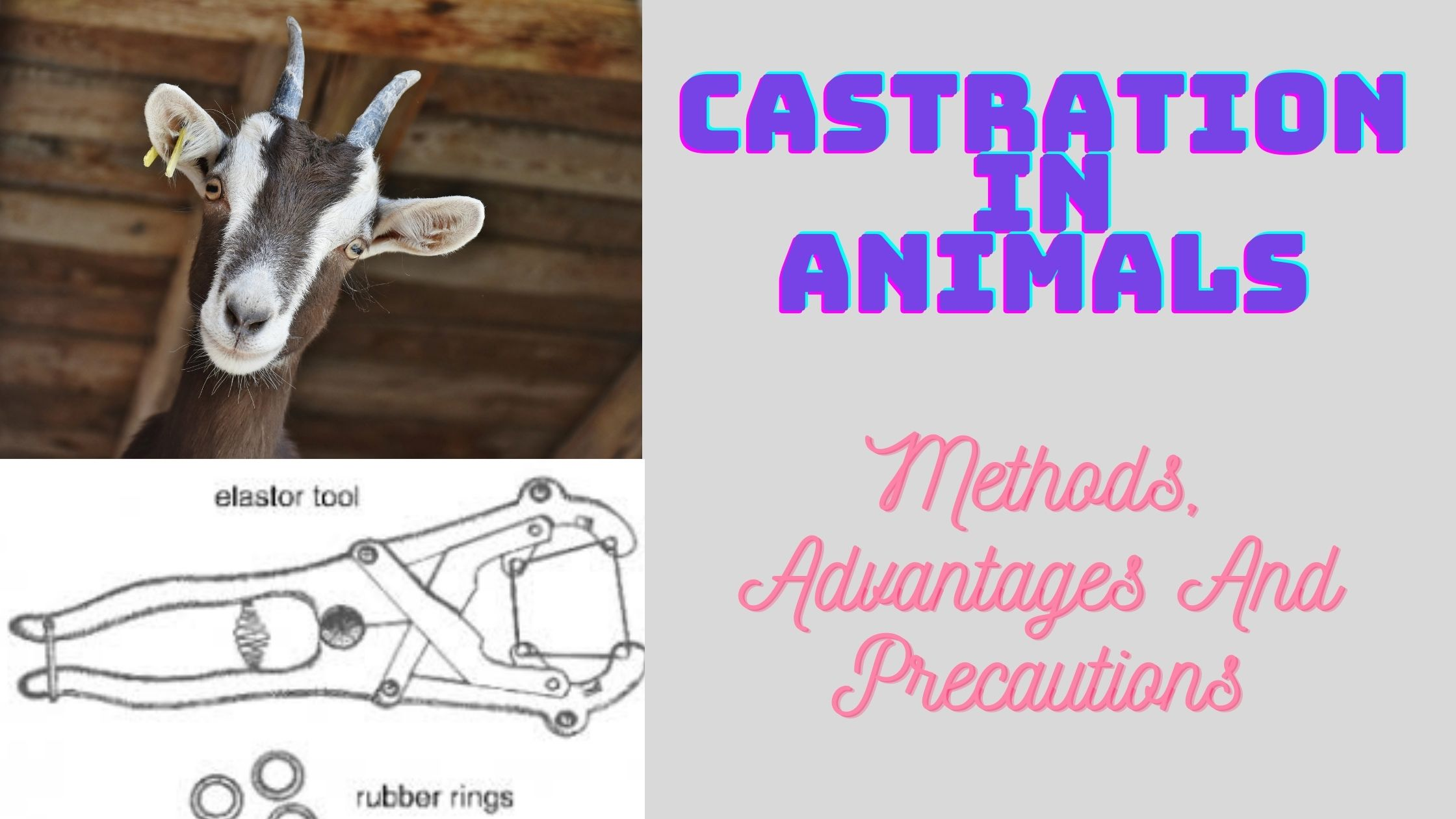 Castration in animals, Castration Methods, Reasons of Castration in animals
