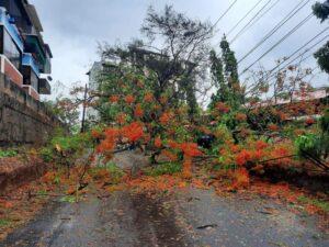 Gulmohar Tree Disadvantage:- Broken Tree