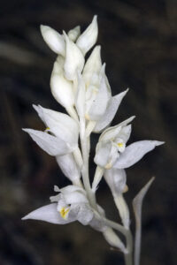 Orchid: Non Green Plants