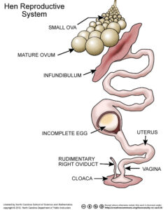 Hen reproductive system, How many eggs does a chicken lay a day