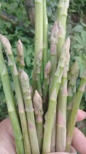 Asparagus - Monocot Plant Example