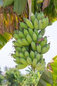 Banana: Monocot Plant