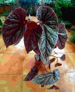 Begonia - Dicot Plant