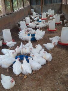 Housing System Of Poultry