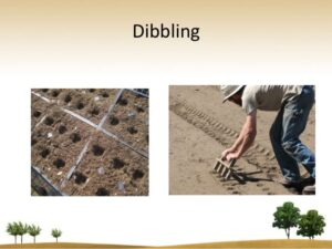 Sowing of seed: Dibbling