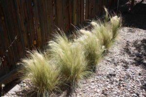 Gossamer Grass: Monocot Plant Example