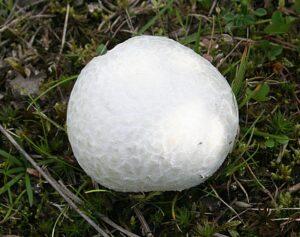 Puffball: Non Green Plants