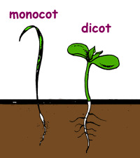Monocots and Dicots Seed Germination