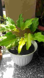 Philodendron - Monocot Plant
