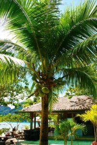Coconut: Monocot Plant Example