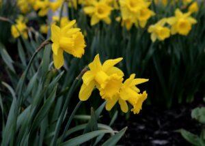 Daffodil: Monocot Plant Example