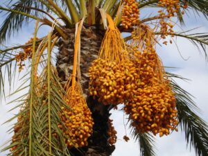Date Palm: Monocot Plant Example