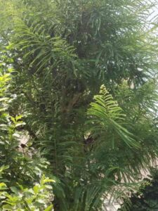 Amla-Tree
