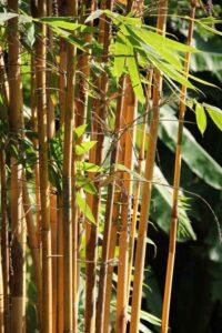 Bamboo, Trees name in english