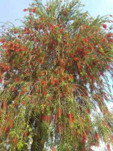 Bottlebrush-Tree