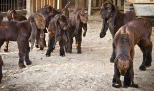 Damascus Goat Babies