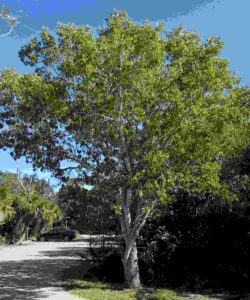 Mahagony-Tree