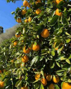 Mandarin-Tree