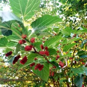 Mulberry Tree, Trees name in english