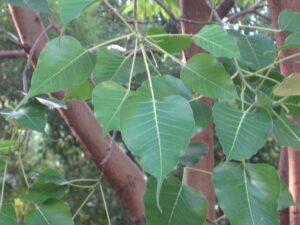 Peepal: Trees name in english