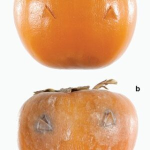 Persimmon Anthracnose