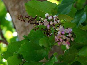 Pongam-Tree
