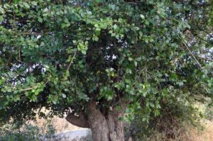 Kalyos Fruit Tree