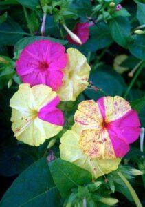 4 O'clock Flower