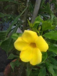 Alamanda Climber plant
