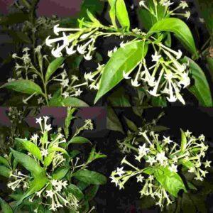 Night Blooming Jasmine, Flowers That Blooms At Night