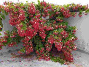 Rangoon Creeper Plant