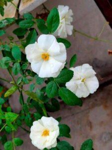 Rose Vine Climbers Plants