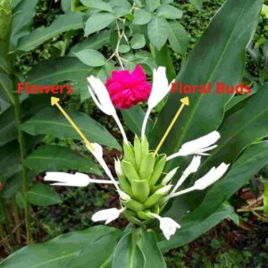 Sontakka Plant Flowering