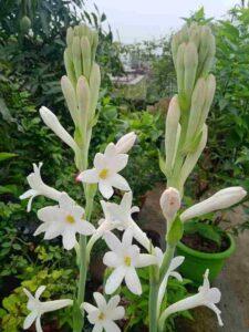 Tuberose, Flowers That Blooms At Night